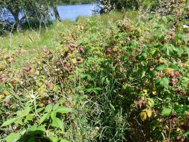 A good crop of wild rasps