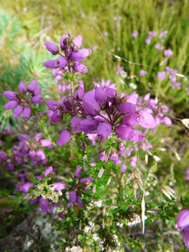 Bell heather in close-up