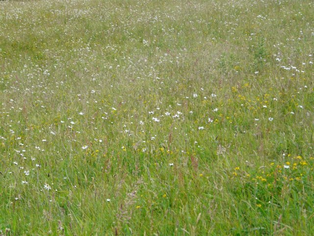 A wildflower meadow at Old Kinord