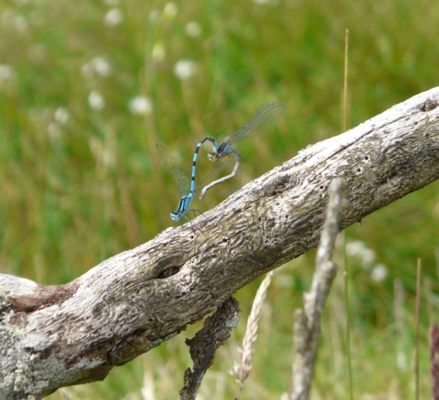 Mating common blue damselflies