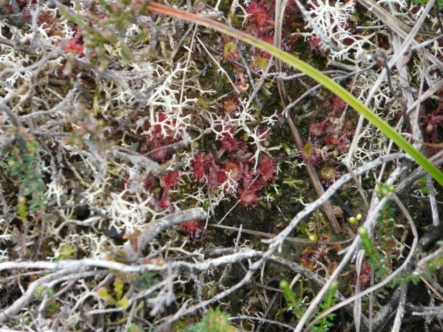 Tiny sundews on Parkin's Moss