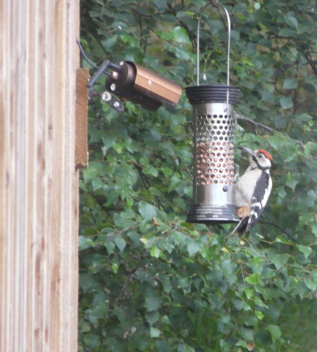 A young great-spotted woodpecker