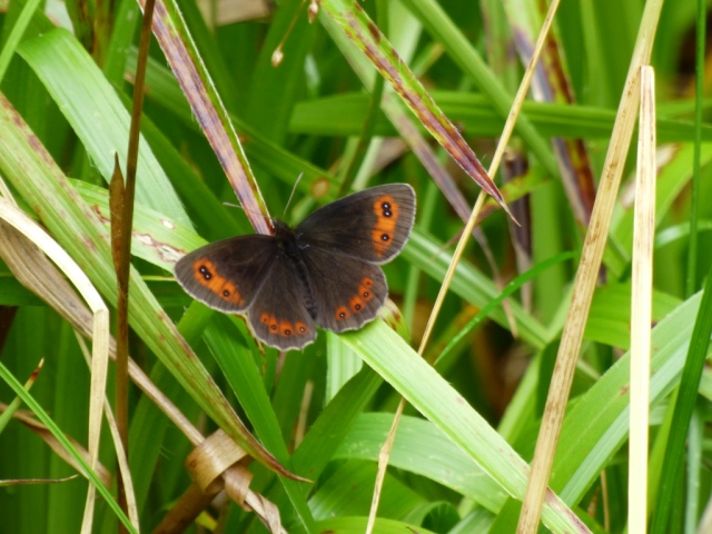 A freshly-emerged Scotch argus butterfly