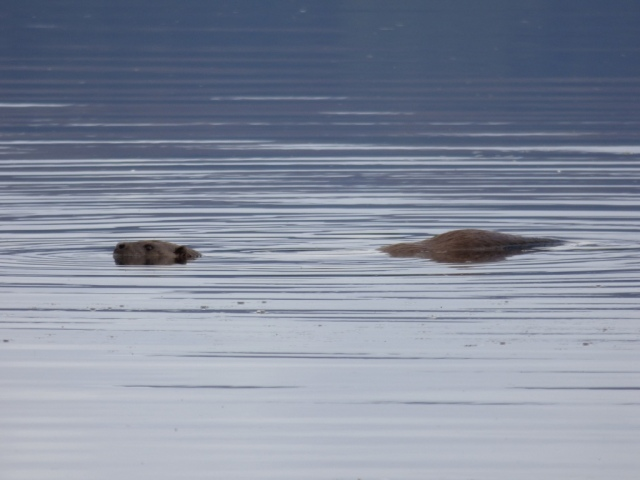 Otter swimming past, really close in.....