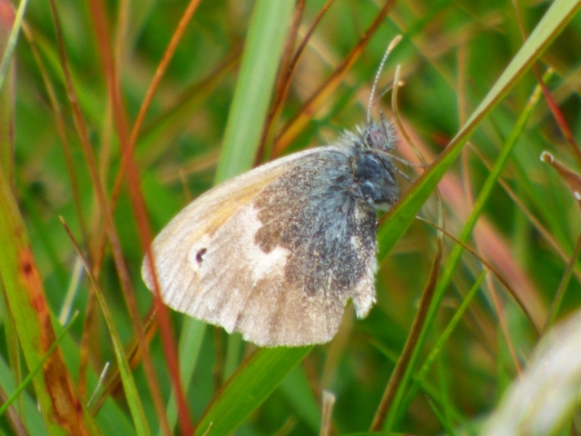It's not just the trees the weather has battered. This small heath looks rather tatty now.