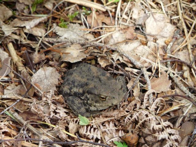Crouching puddock, hidden toad