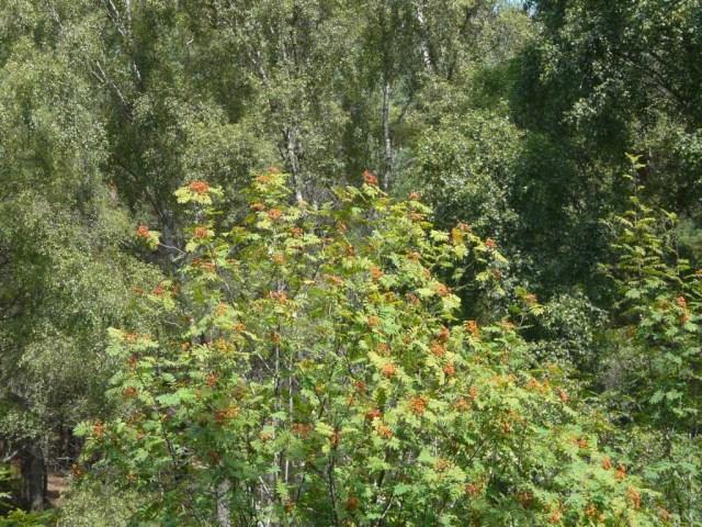 Ripening rowan berries