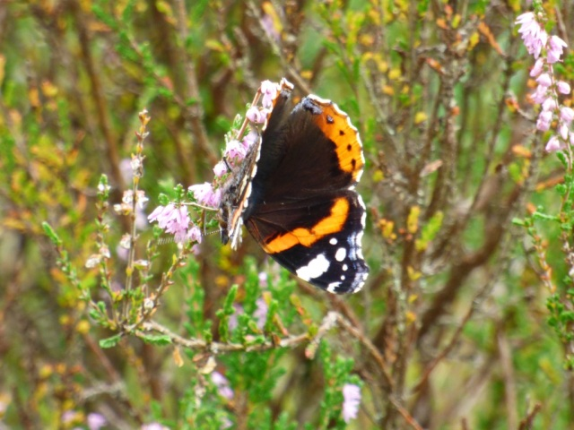Red admiral feeding on heather