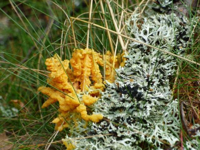 Orange slime mould on grass