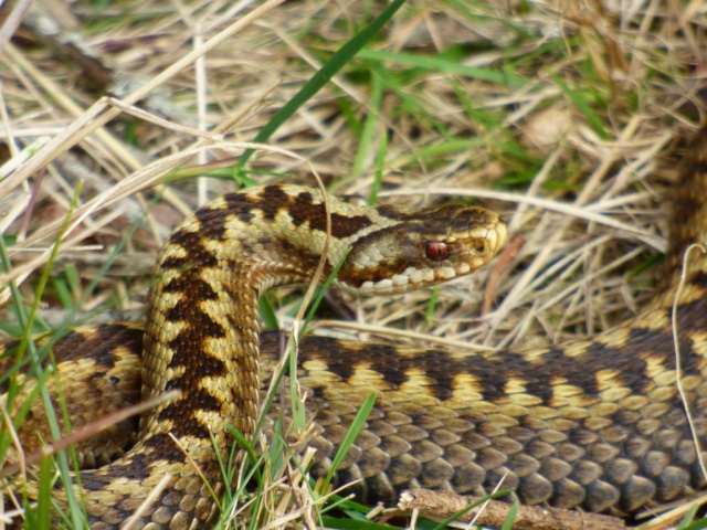 What a handsome one! A very well marked adder.