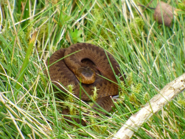 Baby female adder