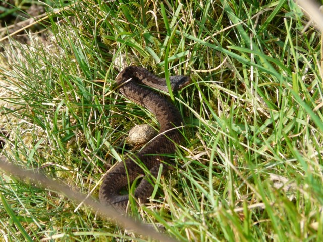 Baby adder beside a bit of rabbit poo