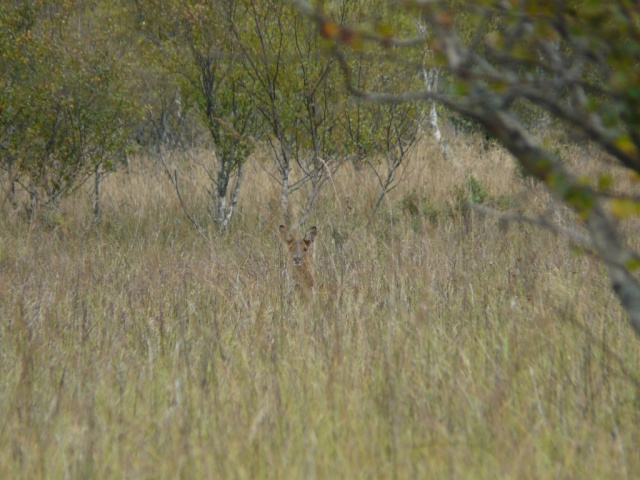 Watching you watching me. Roe deer in deep vegetation at Black Moss.