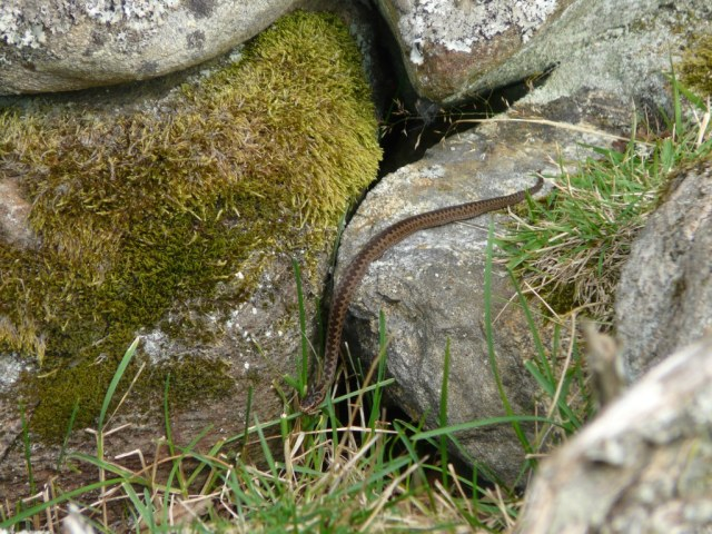 Going plop- the baby adders aren't long enough to glide gracefully over the rocks. They get so far then go plop onto the ground.