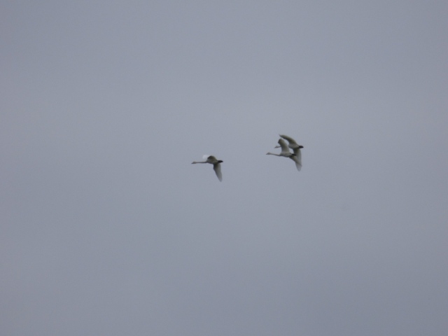 Whooper swans over the reserve