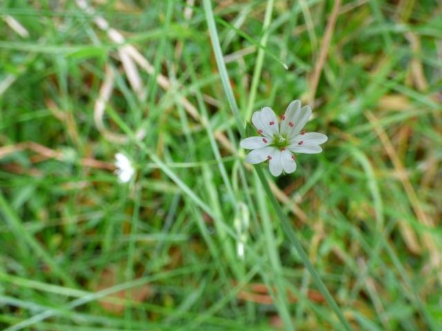 Late Bloomer 2 - lesser stitchwort