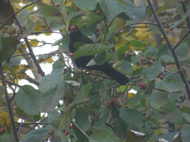 A blackbird scoffing whitebeam berries