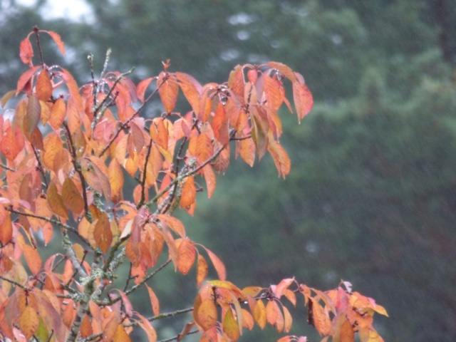 Lovely autumn colours- brightens up even the wettest day!