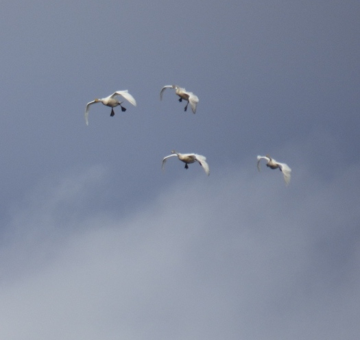 Incoming! Whooper swans on final approach....