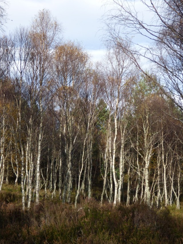 After  Gonzalo...the birches are much barer.