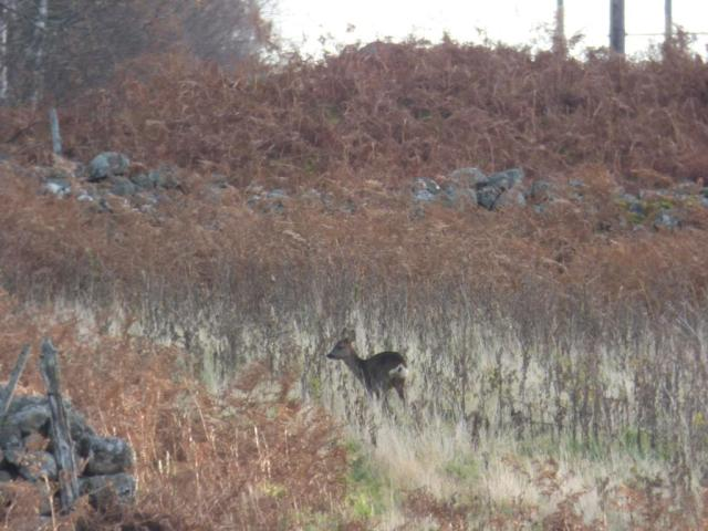 Roe deer on Old iKnord fields