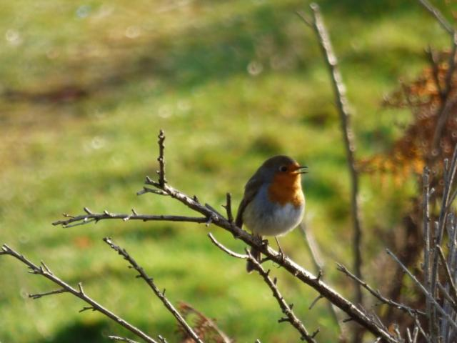 A robin singing