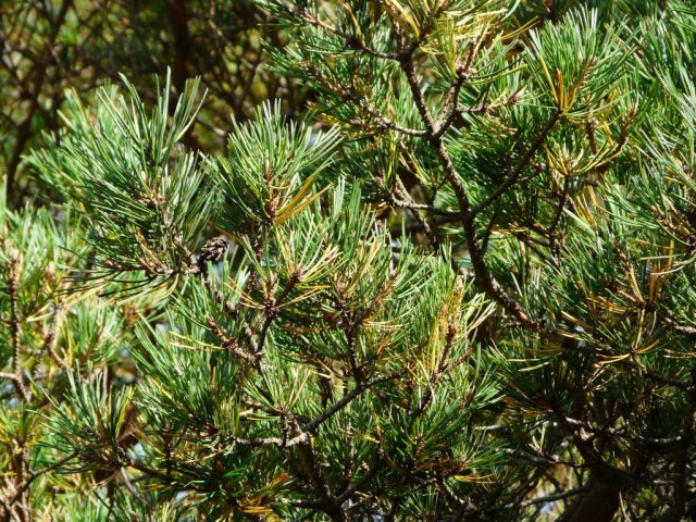 Pine needles going yellow