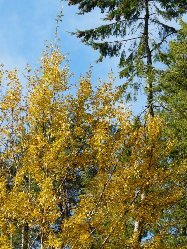 Autumn aspen at visitor centre