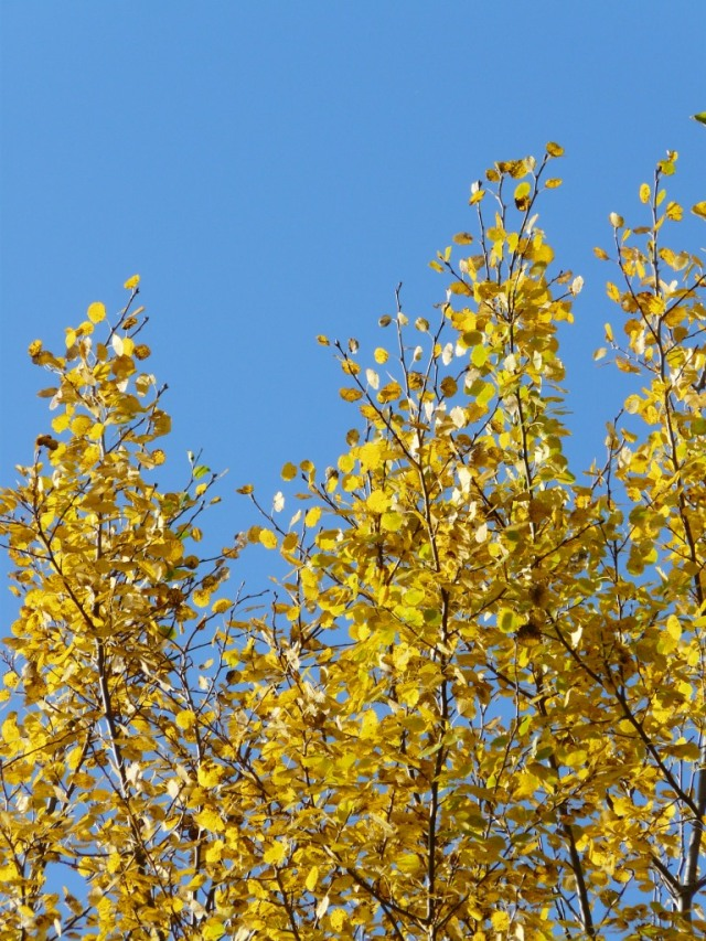 Aspen against a blue sky