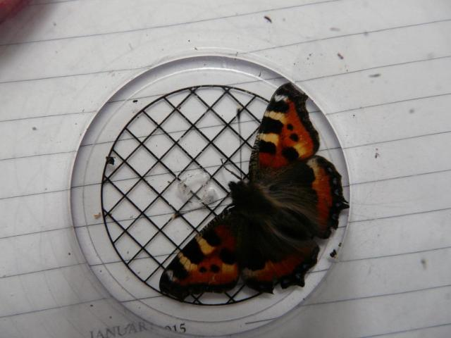 You can't hibernae in here! Small tortoiseshell captured for removal to garage.