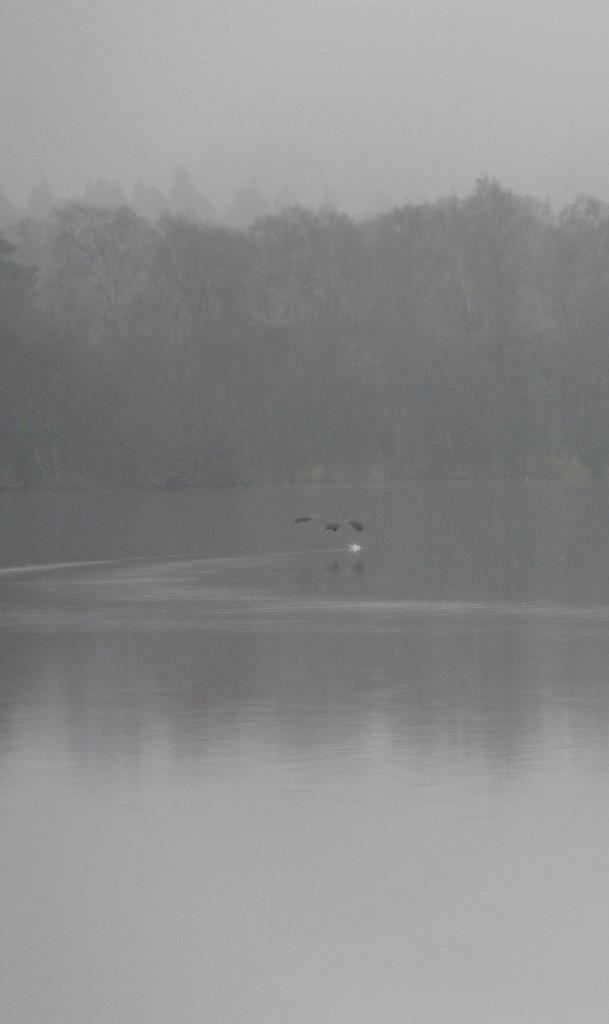 Cormorant ruffling the water