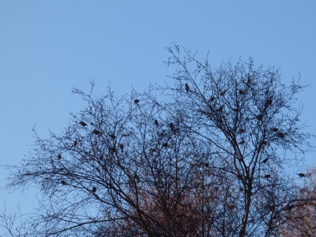 A treeful of redpolls