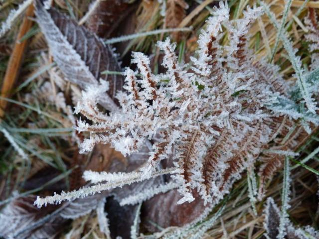 Frozen fronds - frosty bracken