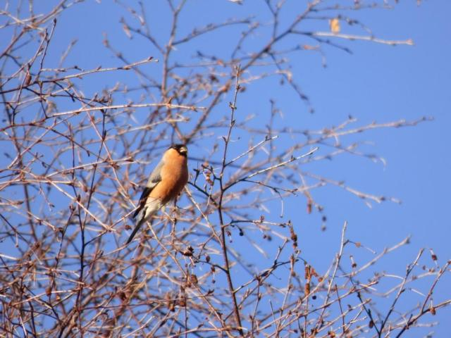 Bullfinch feeding on birch