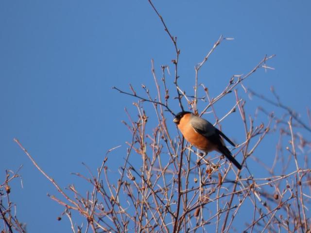 Bullfinch at top of birch tree