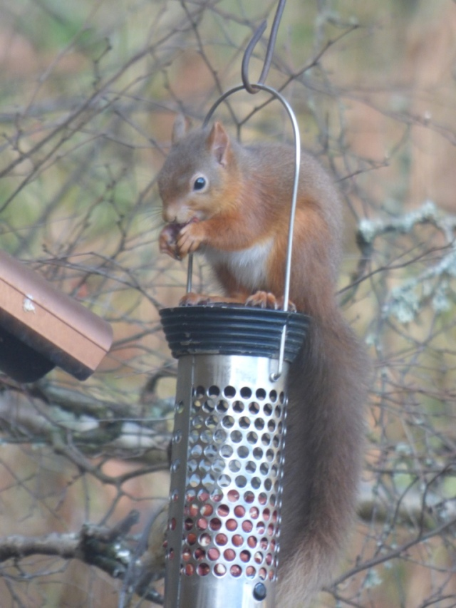 Everyone's hungry in the cold, including the red squirrels.