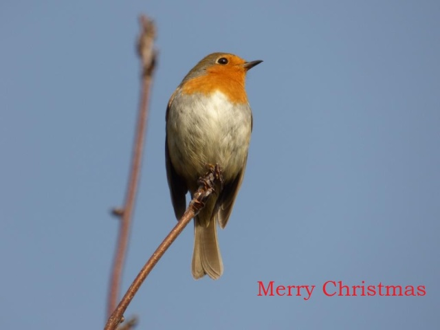 It wouldn't be Christmas without a robin, would it....
