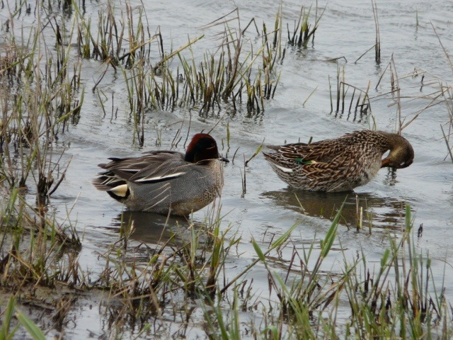 A pair of teal loafing at the edge of the loch