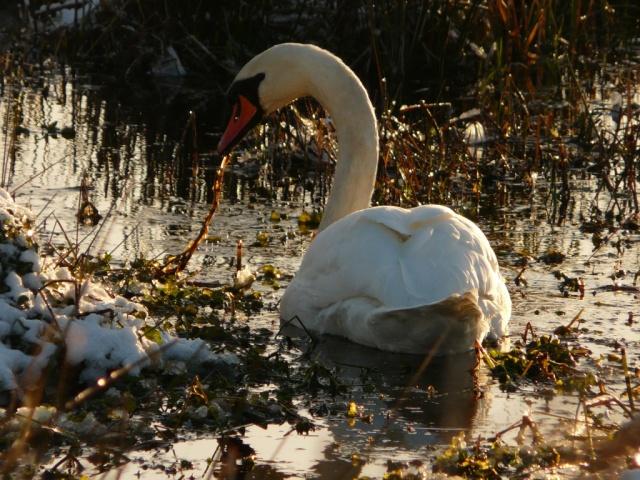 Swan feeding at edge of loch