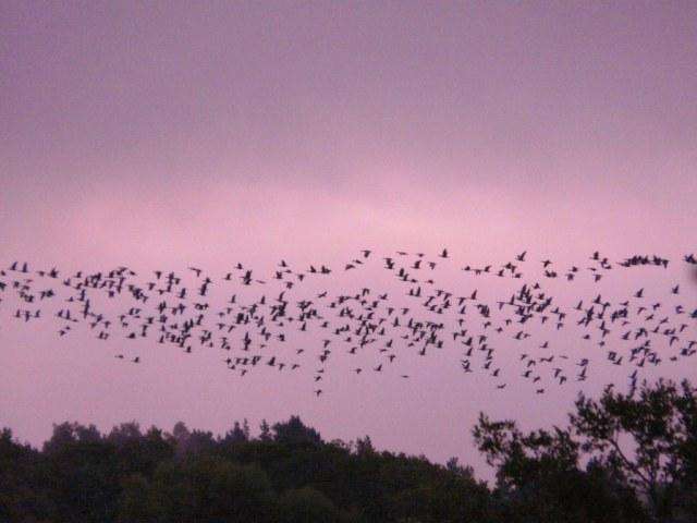 Geese over Loch Davan
