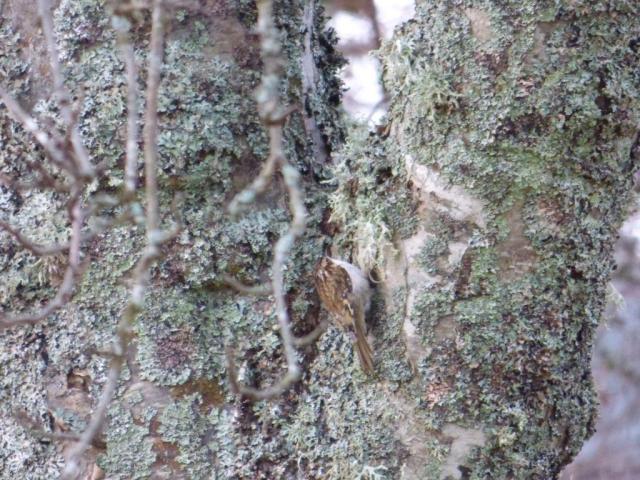 A treecreeper