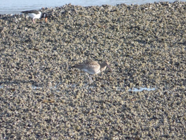 Curlew, blending into it's background