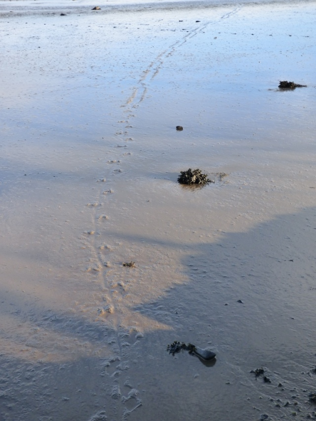 Otter track in mud