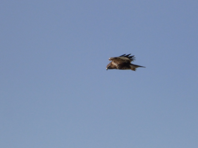 Buzzard, on the lookout for a meal