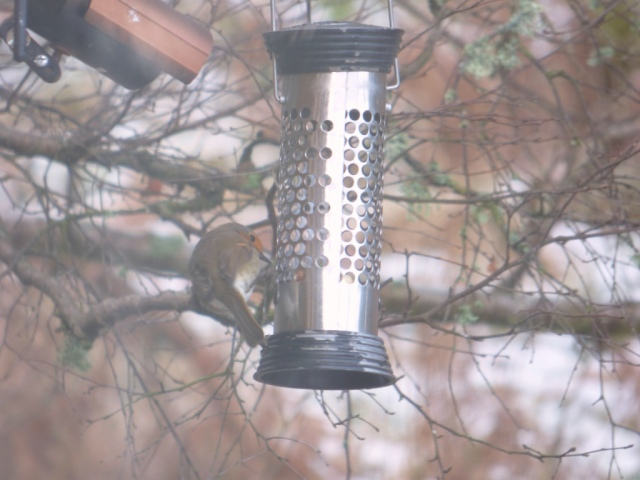 Behaving like a tit...this robin is hungry enough to have a got at hanging on the peanut feeder
