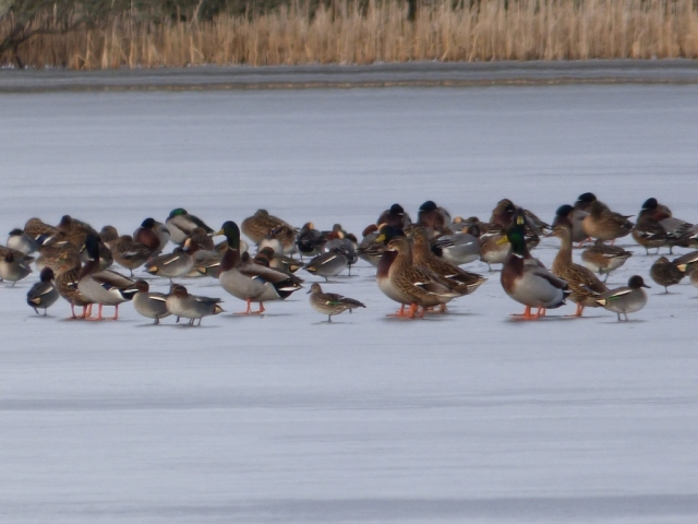 Small, medium and large. Teal, wigeon and mallard, Loch Davan.