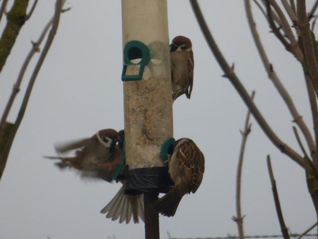 Tree sparrow scap