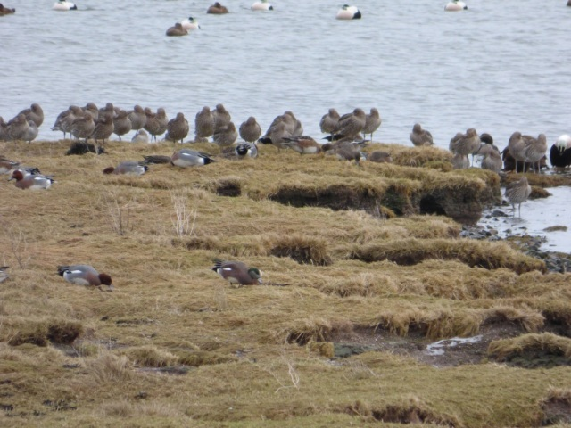 Spot the odd one out? American wigeon from Waterside