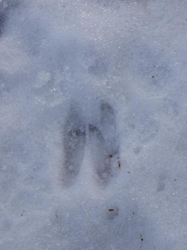 Roe deer print