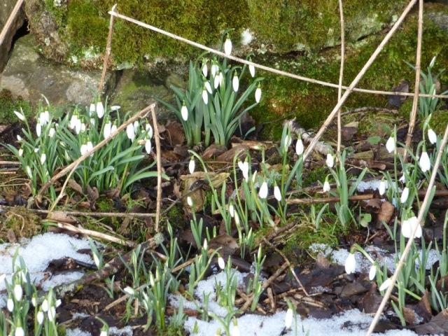 Snowdrops near New Kinord